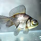 青文魚(セイブンギョ) 6cm前後 1匹
