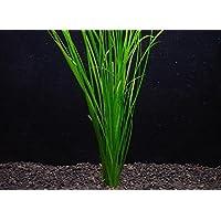 バリスネリア・ナナ(5本) ◆丈夫な小型テープ状水草◆ メダカにも最適