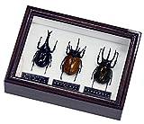 異なる角が楽しめる3種類のカブトムシ 名和昆虫博物館 企画・製作 ヒメカブト・ゴホンヅノカブト・アトラスオオカブトのセット標本