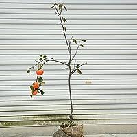 果樹・庭木:富有柿(ふゆうがき)カキ 接木株 かき 根巻大株! 甘柿の大様とも呼ばれる代表種です!