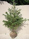 モミの木 H1100~1300