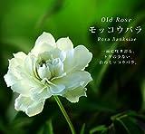 バラ苗 白 モッコウバラ 八重 (オールドローズ) ポット苗白色 強健 バラ 薔薇 バラ苗木 セール np
