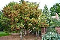500個の種子:Tatarianメープルシード種子、エイサーtataricum、メープルシード種子