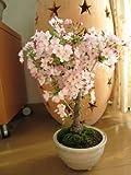 御殿場桜盆栽 毎年春に お花見桜    和の贈り物 盆栽 信楽鉢入り