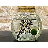 ピクシーシュリンプ【ホロホロシュリンプ】大瓶クリスタルグラスサンドクリアー 6匹入り+(死着補填分として予備2匹)