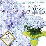 """父の日ギフト:アジサイ(紫陽花) """"万華鏡""""*ラッピング付【ご予約受付中】お届けは6月13日~16日となります。"""