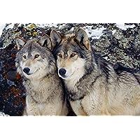 かわいいオオカミカップル動物 - #50527 - キャンバス印刷アートポスター 写真 部屋インテリア絵画 ポスター 90cmx60cm