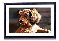 ダックスフント、犬、子犬、日 - 木製の黒額縁装飾画 壁画 写真ポスター 壁の芸術 (60cmx40cm)