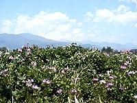 生きた玄米でリジュベラック簡単にできます。無農薬 無施肥 国産 コシヒカリ300g