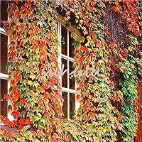 家の庭の装飾のために100個のカラフルな種子屋外の緑の種子ドロップ送料Parthenocissusトライシード