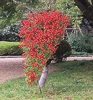 100個盆栽盆栽レアクリフDIYホームガーデン:2