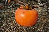 柿 ( カキ ) 苗 禅寺丸(ゼンジマル) 1年生 接ぎ木 苗 果樹苗木 果樹苗