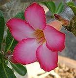 40 Fresh seedsアデニウム アラビカム オベスム 砂漠のバラ種子(40粒)塊根植物種子Adenium obesum Desert Roses seeds no296-Sweet-pink