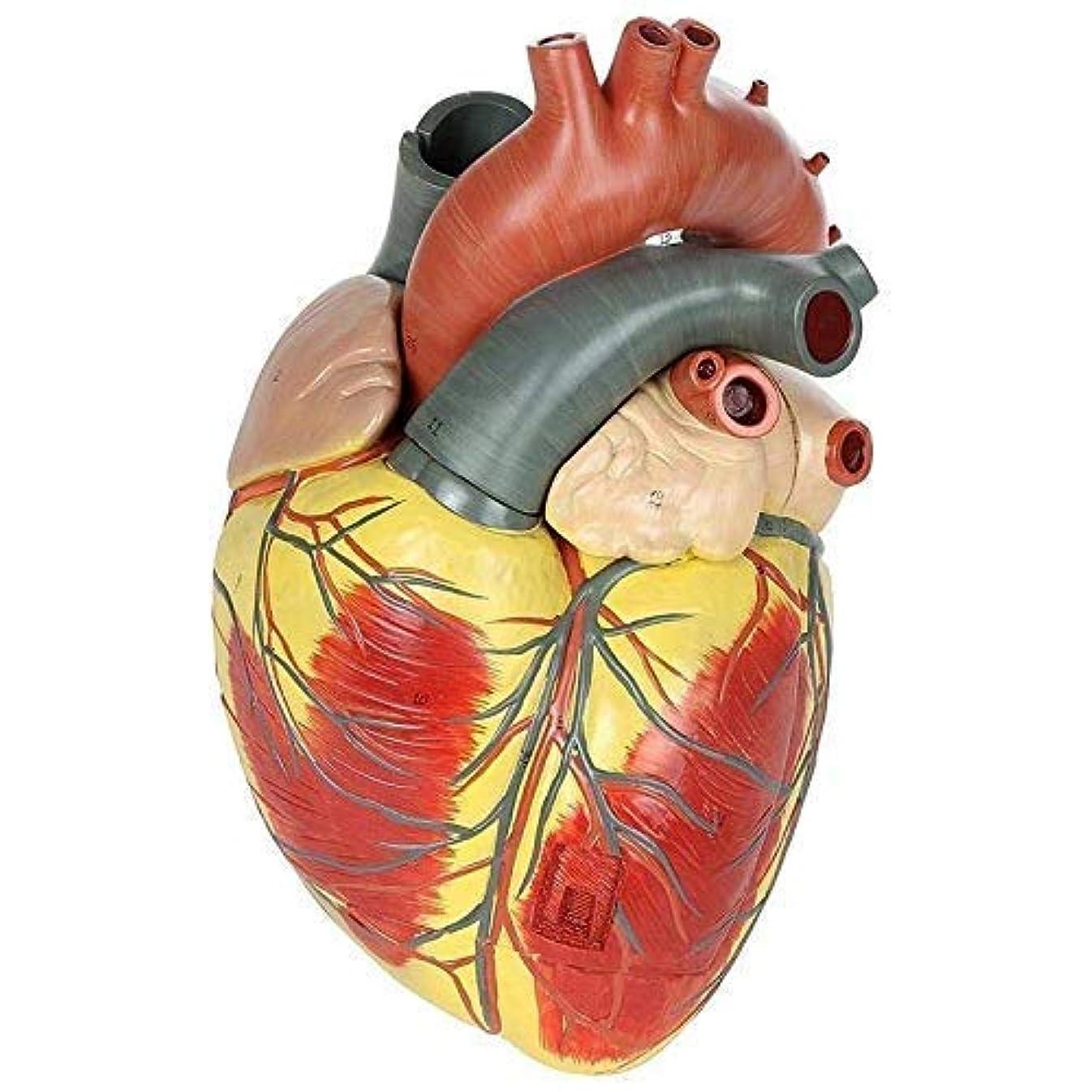 政治的ホバーエスカレーター教育モデル逆アセンブルされた解剖学的人間の心臓モデル解剖学医療教育ツール実験的教育支援