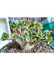 有機種子だけでなく、植物:PEARL DHA DORSET HORNアデニウムTHAI SOCOTRANUM DESERTは100 SEEDSのSEEDS NEW HYBR BY FERRYをROSE