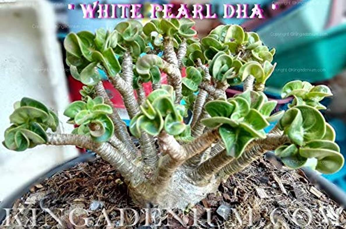 荒涼とした連隊挨拶有機種子だけでなく、植物:PEARL DHA DORSET HORNアデニウムTHAI SOCOTRANUM DESERTは100 SEEDSのSEEDS NEW HYBR BY FERRYをROSE