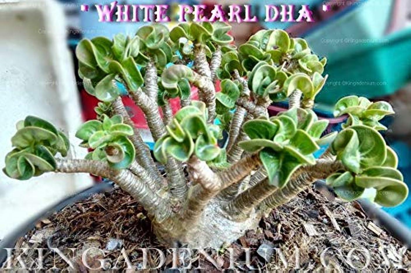 大理石ネックレス障害者有機種子だけでなく、植物:PEARL DHA DORSET HORNアデニウムTHAI SOCOTRANUM DESERTは100 SEEDSのSEEDS NEW HYBR BY FERRYをROSE