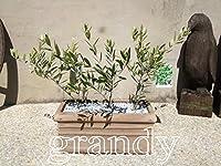 オリーブ3種 ロースムースプランターM鉢植