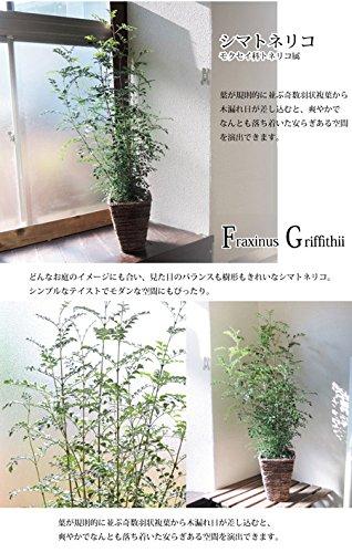 観葉植物 シマトネリコ 茶バナナカゴ
