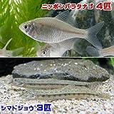 (淡水魚)ニッポンバラタナゴ(4匹) + シマドジョウ(3匹) どじょう 本州・四国限定[生体]
