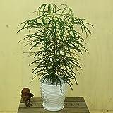観葉植物:アラレア*あられあ 陶器鉢