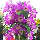 お祝い・誕生日などのプゼントに蘭の花 デンドロビューム 鉢植え 濃いピンク 花 ギフト