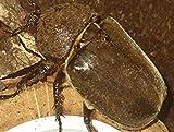 カブトムシ (成虫) メス