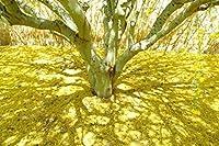 PLATのFIRM:Cercidium torreyanum別名NUM POヴェルデの種!