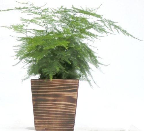 木製4寸アスパラガス・ナナス