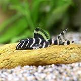 (熱帯魚)エンペラー・ペコルティア Sサイズ(1匹) 本州・四国限定[生体]