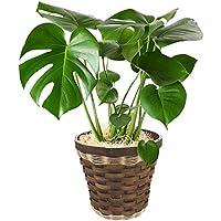 観葉植物 モンステラ インテリア グリーン 6号鉢 バスケット