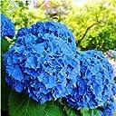 青:色の花の種のすべての種類 種 庭のアジサイの植物盆栽ガマズミ属30 PC A22