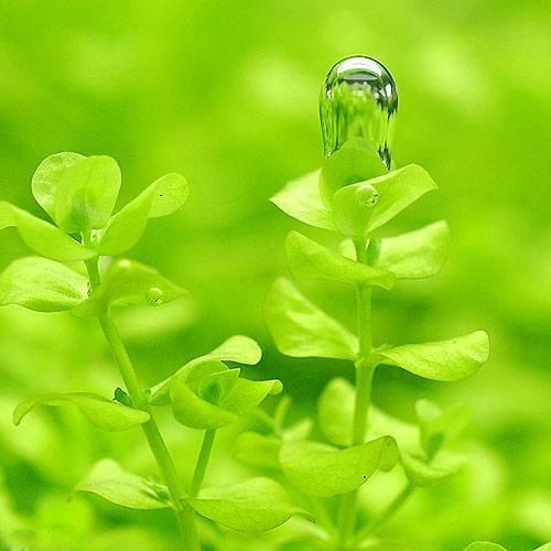 (水草)ラージパールグラス(無農薬)(5本) 本州・四国限定[生体]