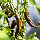 Chilli Kashmiri MIRCH 10 Seeds MILD HOT Spicy Vegetable Indian Curry Spice Plant