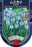【BULB PLANT】Muscari azreum ムスカリ・アズレウム・ポット苗