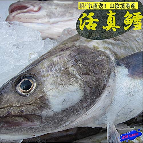 ★肝入り★「真鱈メス1尾2.6kg」活冷凍 『魚王国』境港産