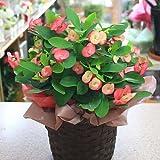 季節の鉢植え 花キリン とげが無い新品種 「シャインキッス」 ピンク 5号鉢植え 誕生日プレゼント 花 ギフト お祝い