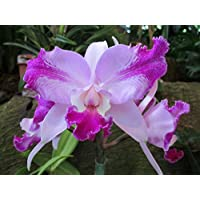 Cattleya: Orchid (English Edition)