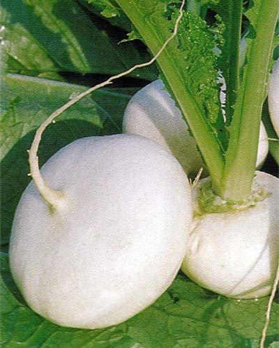 種子パッケージ:野菜カブミラノホワイト5000個の最高級のイタリアの種子