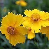 【送料無料】50イエローデイジー、イエローシネラリア最も簡単な成長花、耐寒植物花の種エキゾチックな装飾用の花