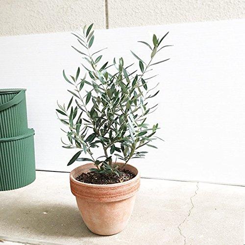 オリーブの木 イタリア製テラコッタ鉢植え 観葉植物 ガーデニング インテリア ミニ 中型
