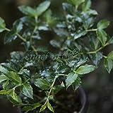 アリドウシ(一両)2.5~3号ポット[アリドオシ・有通し・蟻通し・純白花に赤実をつける縁起木] ノーブランド品