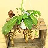 """食虫植物:ウツボカズラ(ネペンテス)""""ミランダ"""""""