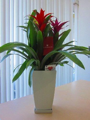 グズマニア 3色植え 白鉢と黒鉢の2鉢セット トロピカルな空間を演出してくれるパイナップル科の植物です。高級観葉植物ですので、ギフトとして大変喜ばれている人気商品です。開店祝い、新築祝い、お歳暮などのギフトに最適です。