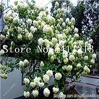 45ピースクライミングアジサイPaniculataバニラフライスストロベリーアジサイの花の種ホームガーデン:19