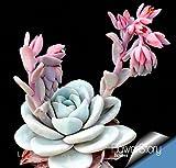ホットセール!10個入り/ロットサボテンRebutia品種の開花カ??ラーサボテン希少サボテン種子オフィスミニ植物多肉植物、#のLVG52T
