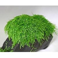 ウィーピングモス(バラ 3cm×3cmサイズ 流木は付属なし)◆ライトグリーンが美しいしだれるモス◆ イイ水草市場