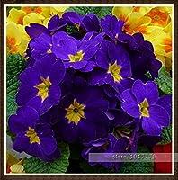 100ピース/バッグ100%真のヨーロッパプリムラアカウリス種子、ホームガーデン屋内盆栽植物のためのプリムローズレア盆栽花の種