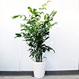 高性チャメドレア 観葉植物 10号 大鉢 観葉植物 インテリア 大型 ヤシの木 ヤシ オシャレ 大きい 尺鉢