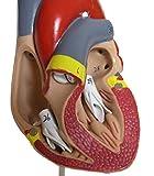 心臓模型 医療説明 学習 研修 プレゼン用 実物大 モデル